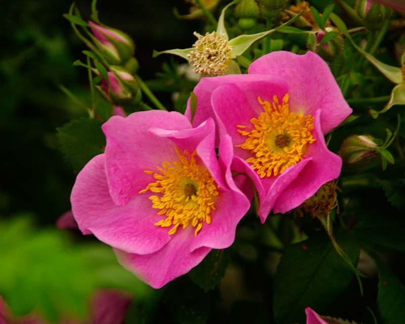 Rosa glauca, the redleaf Rose