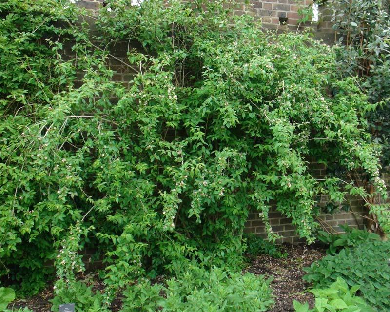 Abelia graebneriana
