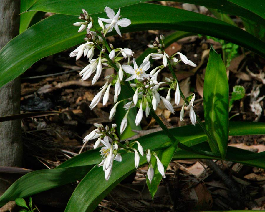 New Zealand Rock Lily - Arthropodium cirratum - loose panicles of white flowers
