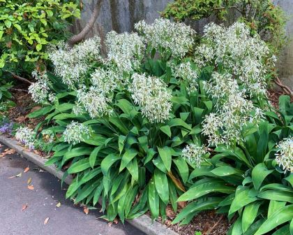 New Zealand Rock Lily - Arthropodium cirratum - mass planting along paths in Sydney Botanic Gardens