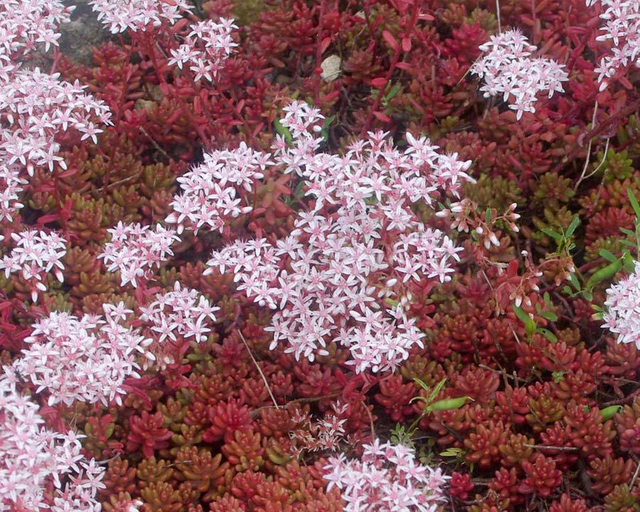 Sedum album 'Coral Carpet' deep red foliage and pink flowers