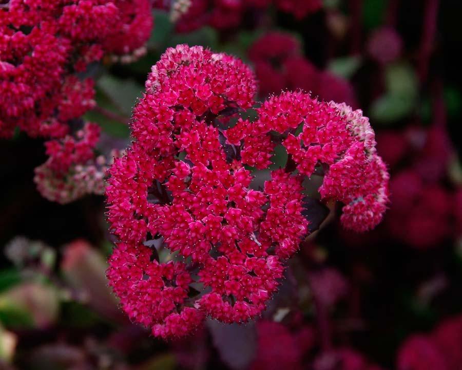 Sedum x Red Cauli - Deep raspberry-red star-like flowers