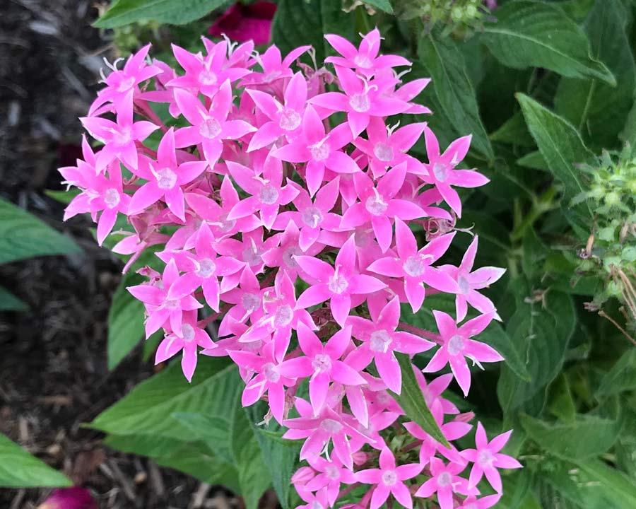 Pentas lanceolate hybrid - Butterfly series Deep Pink