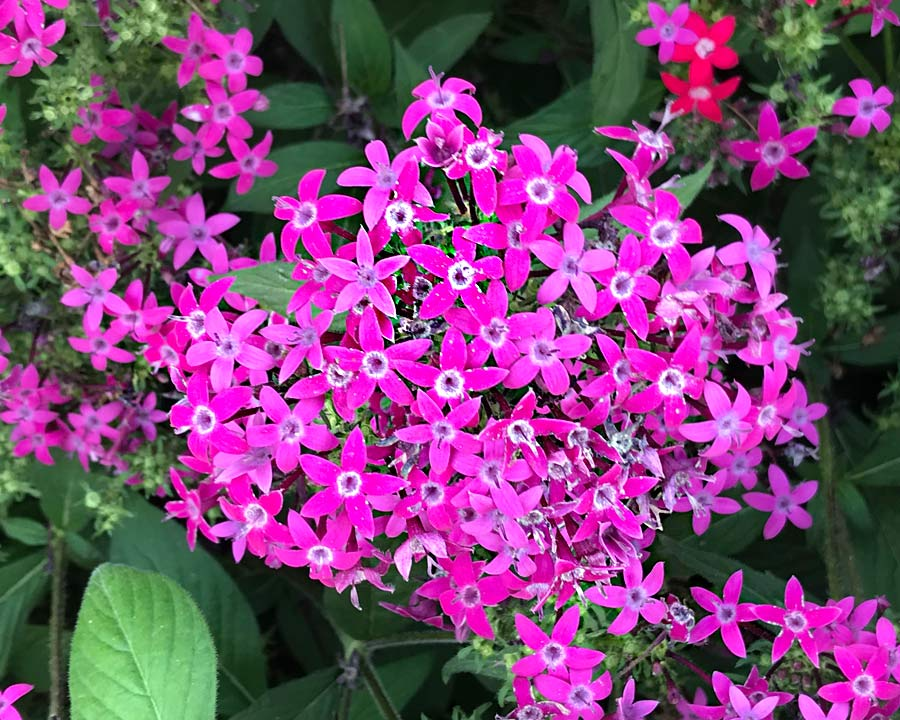 Pentas lanceolata hybrid - Butterfly series Deep Rose
