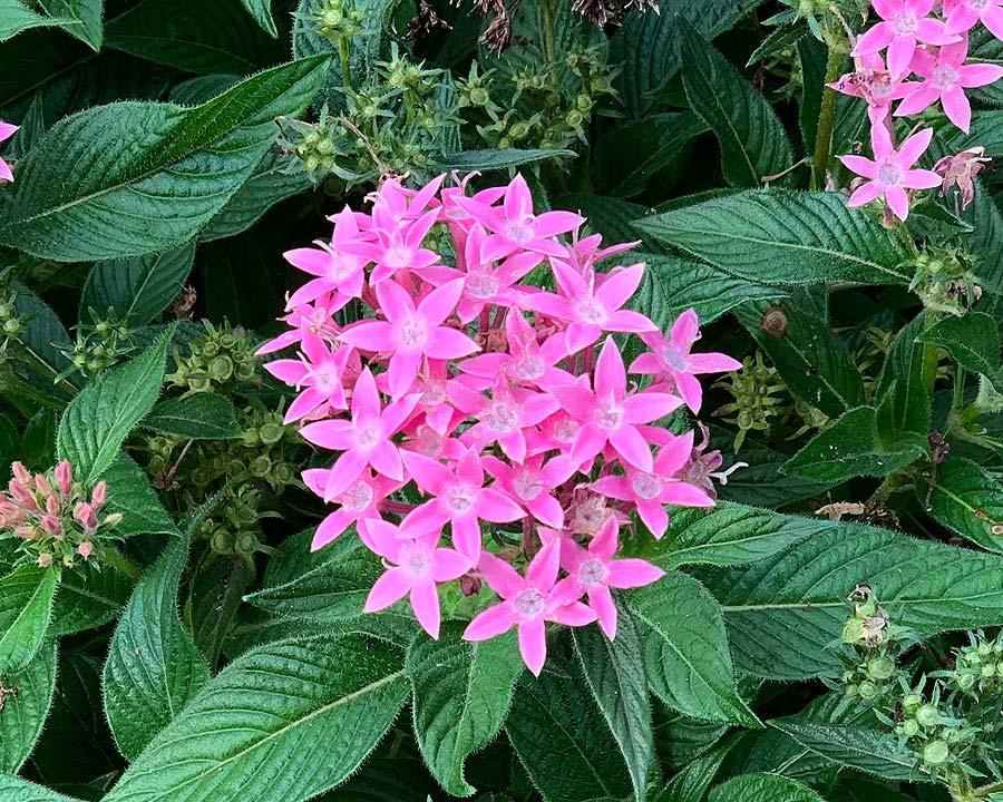 Pentas lanceolata hybrid