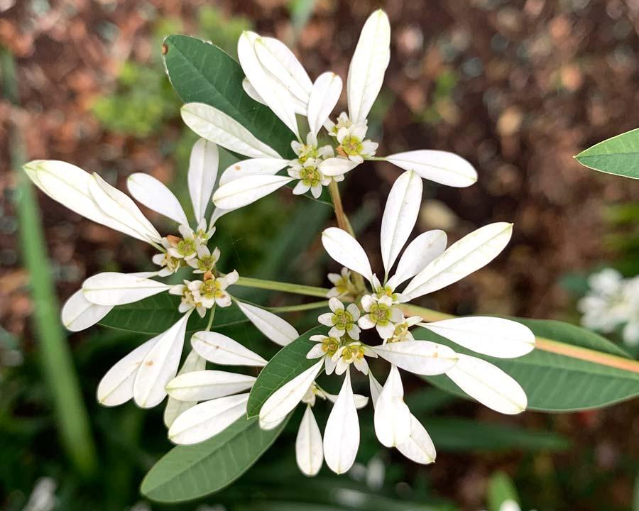 Euphorbia leucocephala - delicate white bracts and tiny white flowers