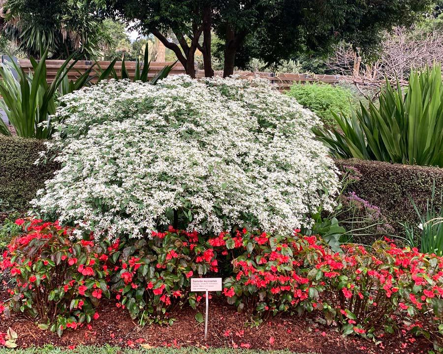 Euphorbia leucocephala - Snowflake