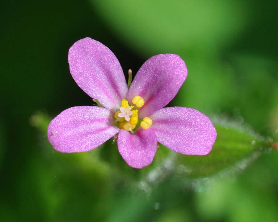 Geranium robertianum - photo Amada44