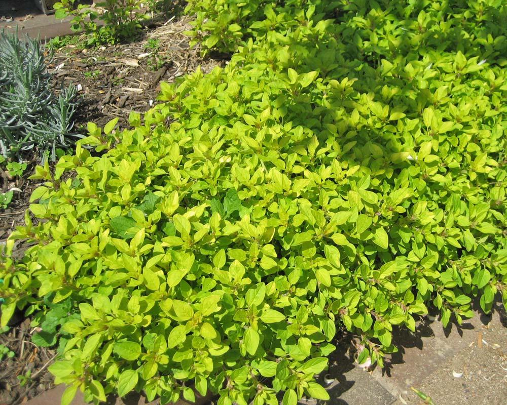 Origanum vulgare 'Aureum'