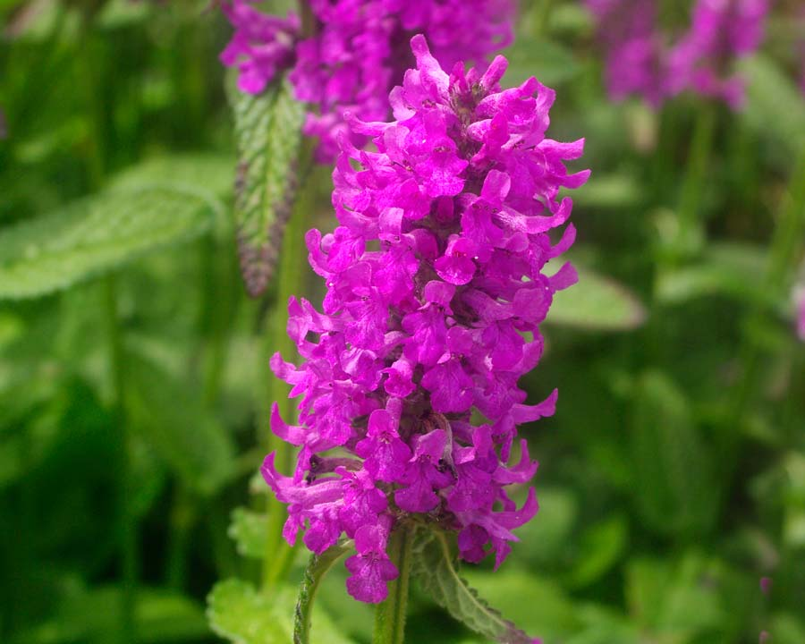Stachys officinalis, Wood Betony