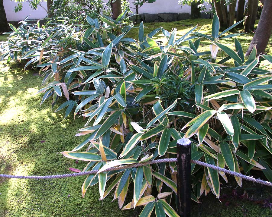 Sasa veitchii - an effective bamboo groundcover
