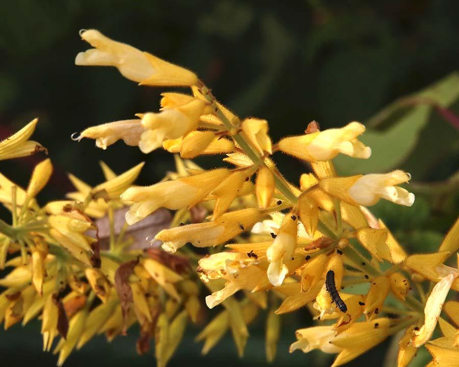 Salvia madrensis, Forsythia Sage