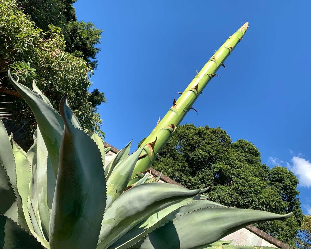 Agave salmiana - Giant Agave