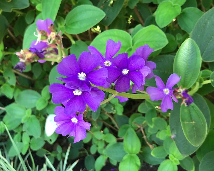 Tibouchina heteromalla