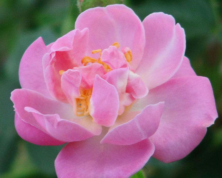 Climbing Rose - 'Lakeland'