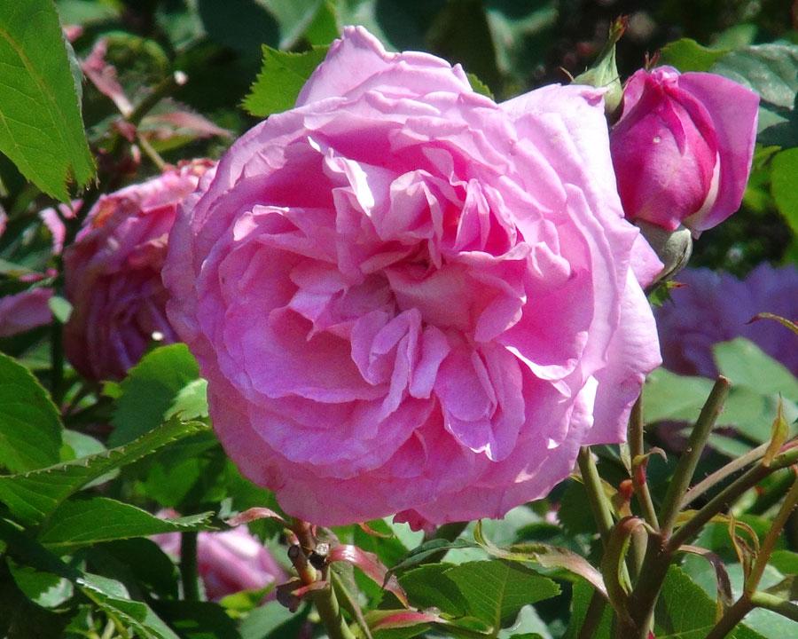 Rosa Bourbon 'Madam Lauriol de Barny'