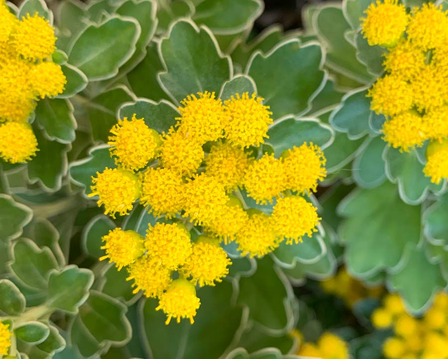 Yellow button-like flowers of Ajania pacificum