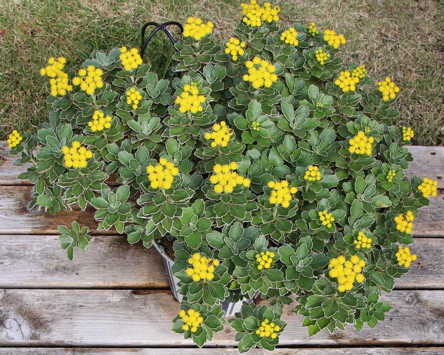 Ajania pacifica, sometimes known as Chrysanthemum pacificum