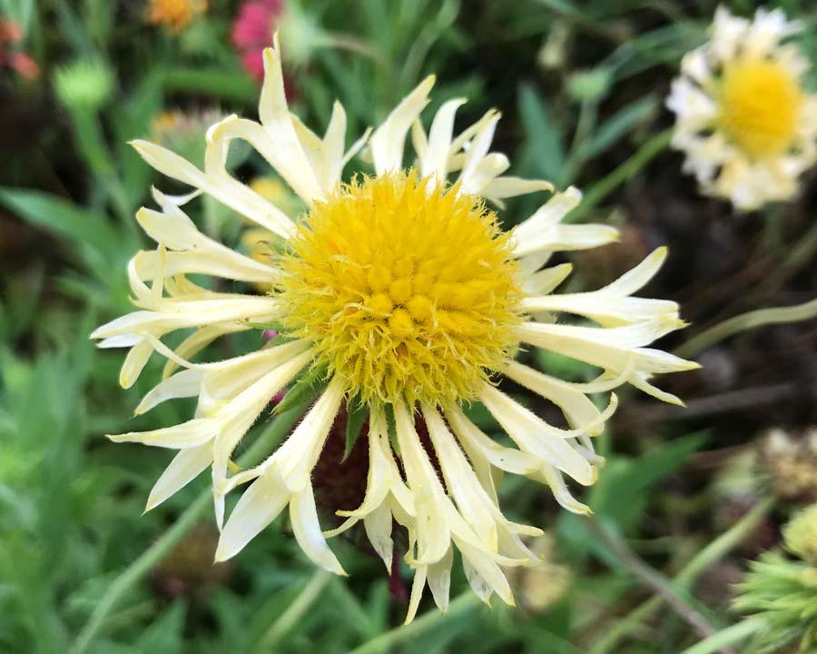 Gaillardia pulchella lorenziana