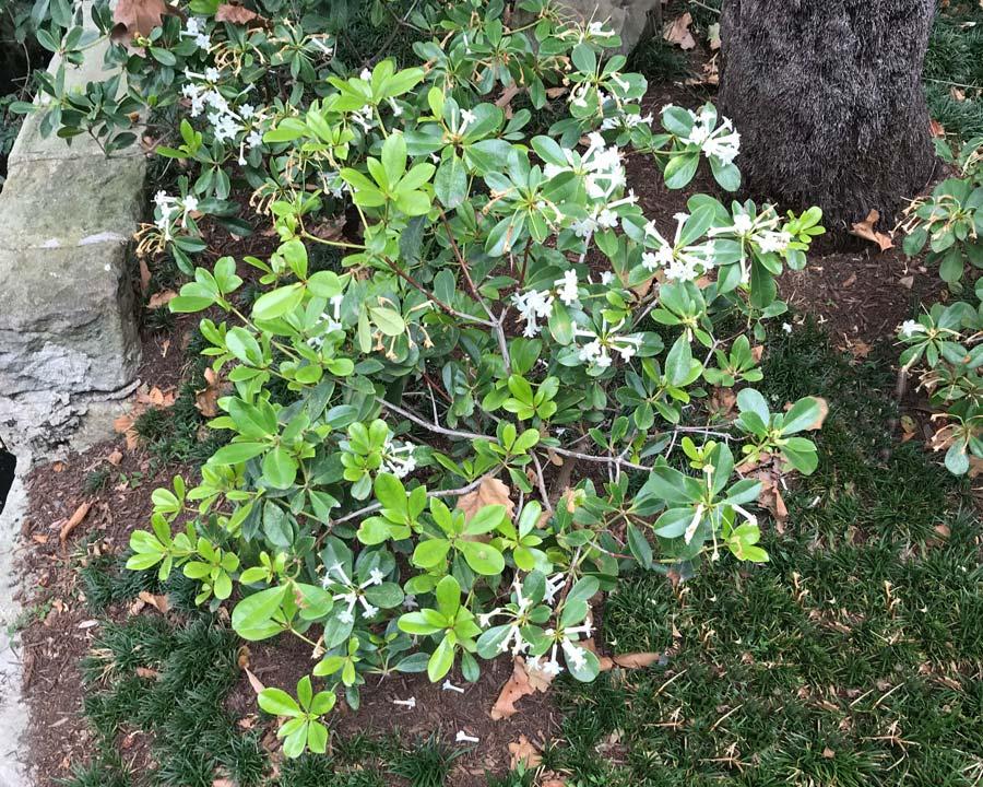 Rhododenron loranthiflorum