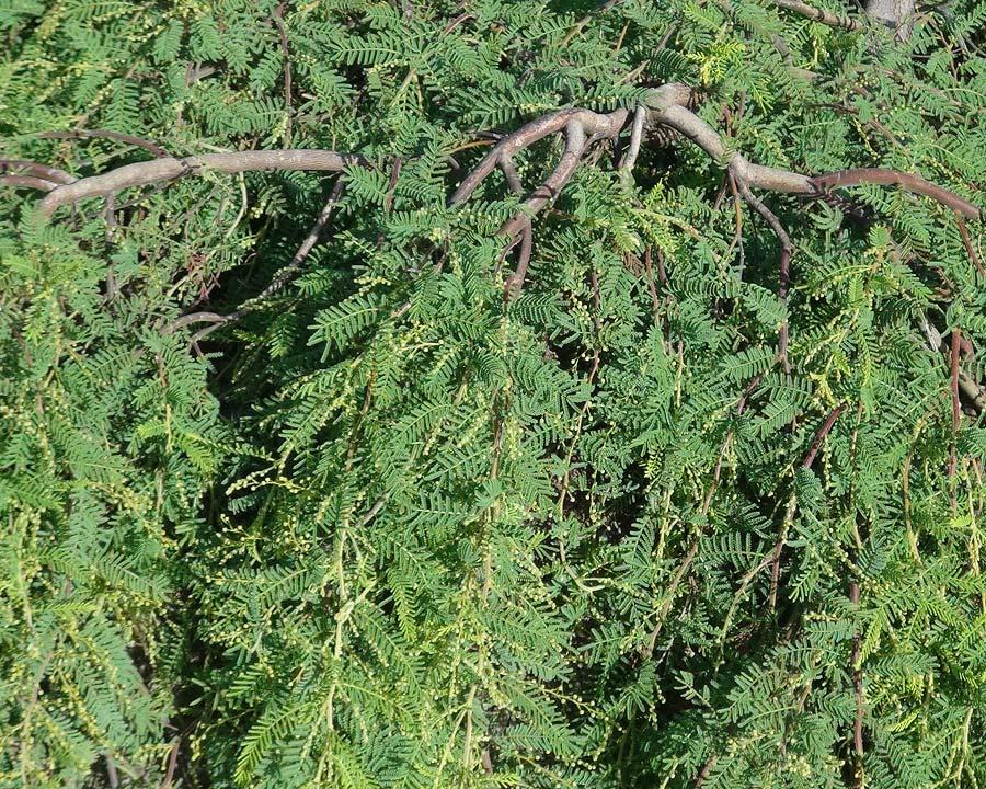 Eucalyptus cardiophylla