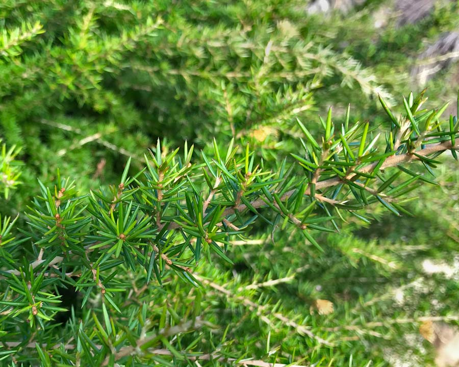 The short needle-like leaves of Grevillea juniperina Molongolo