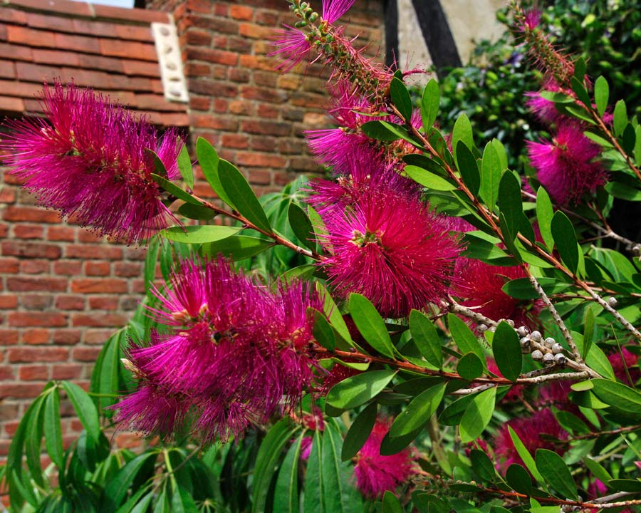 Deep pink bottle-brush flowers of Callistemon 'Hot Pink'