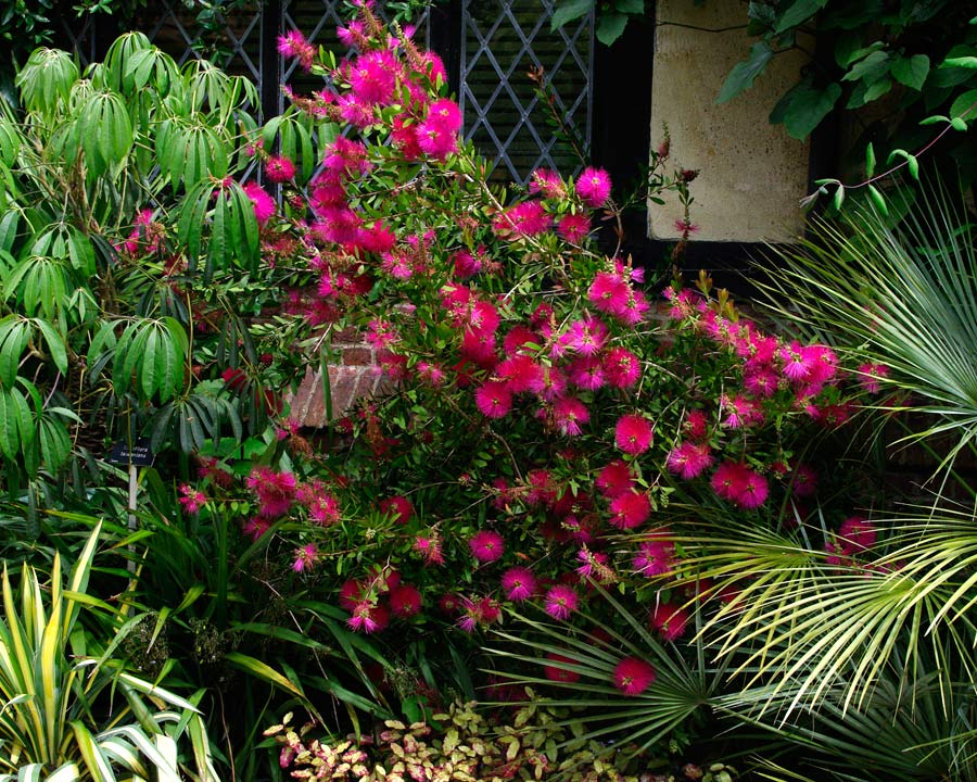 Callistemon 'Hot Pink' - Wisley Botanic Gardens Surrey UK