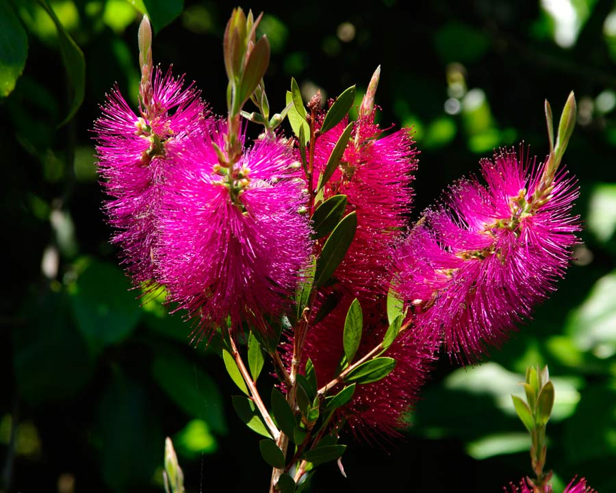 Deep pink bottle brush flowers of Callistemon Hot Pink