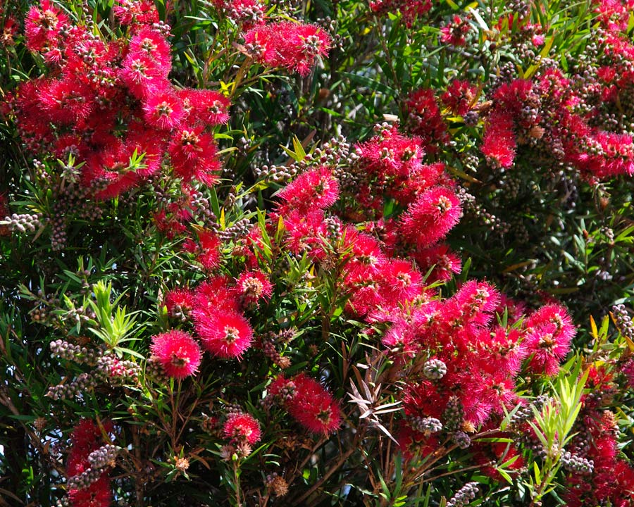 Callistemon viminalis 'Rose Opal' showy pink red bottle-brush flowers