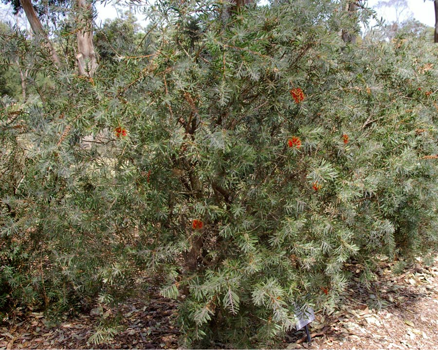 Callistemon viminalis Running River - Rounded and open shrub