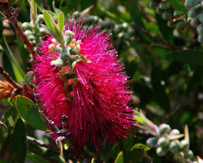 Red bottle-brush flowers of Callistemon 'Western Glory'