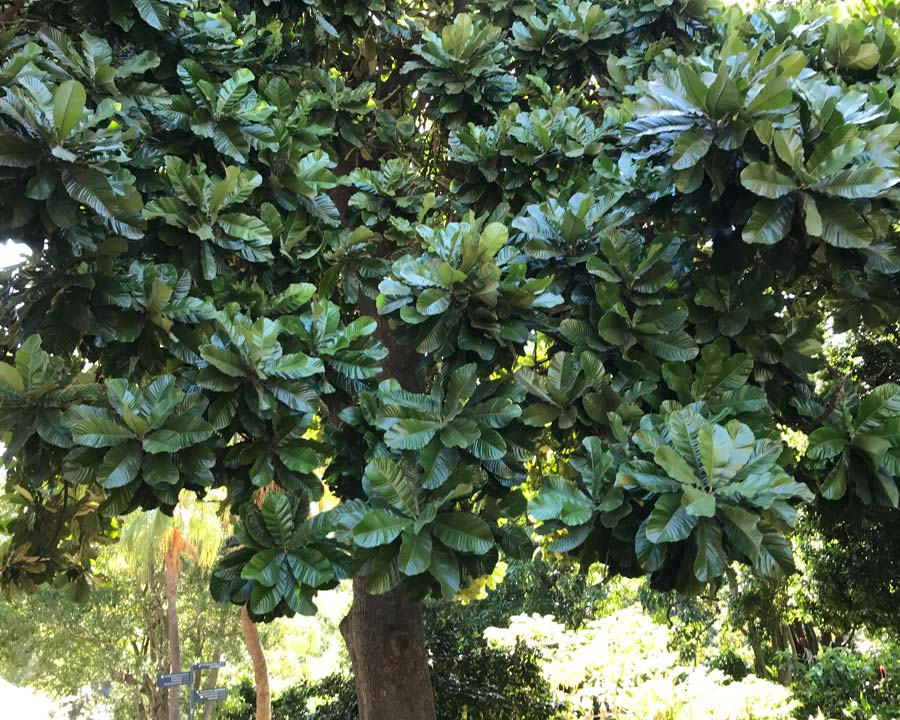 Chrysophyllum imperiale