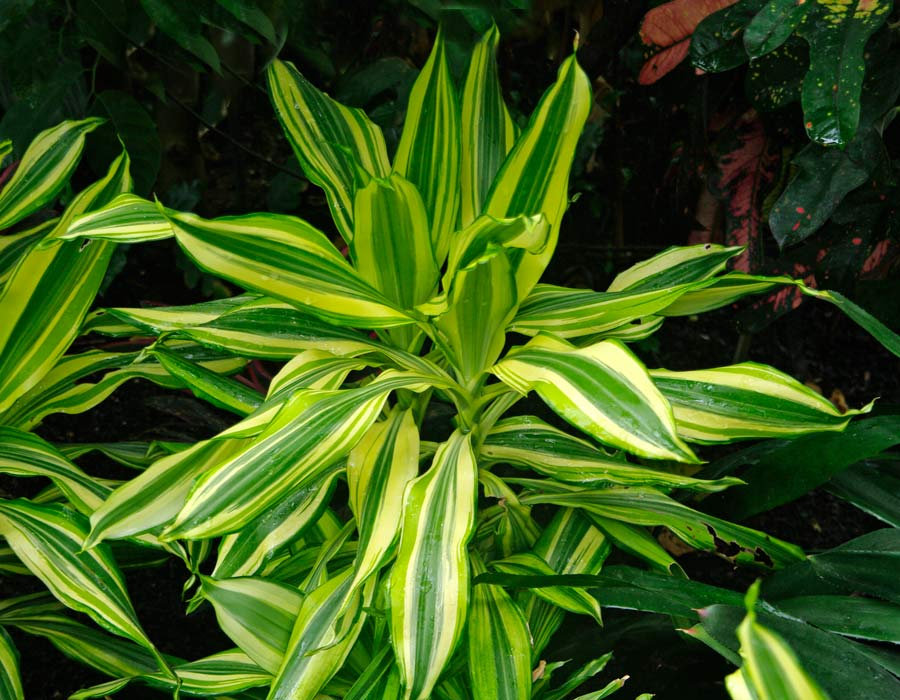 Dracaena fragrans Yellow Coast