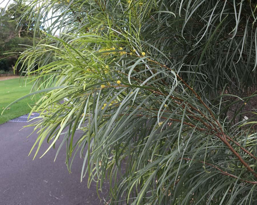 Acacia coriacea subsp. pendens