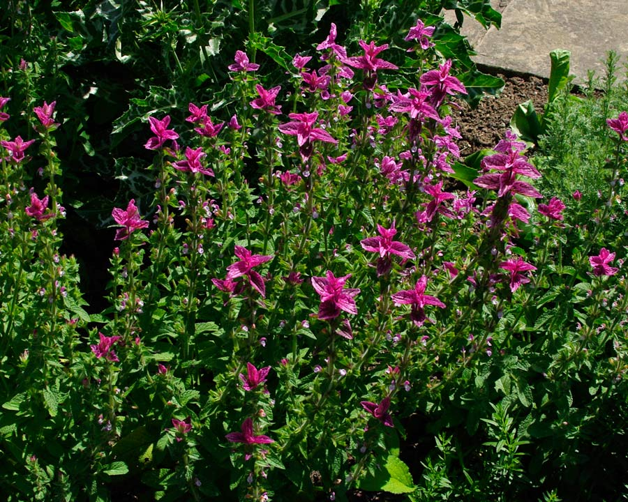Salvia viridis 'Pink Clary' Pink bracts and pink and white flowers