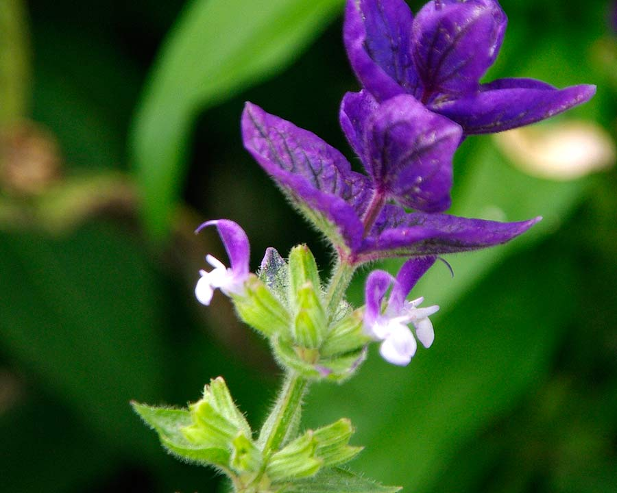 Salvia viridis - purple bracts with small white and purple flowers matching the bracts
