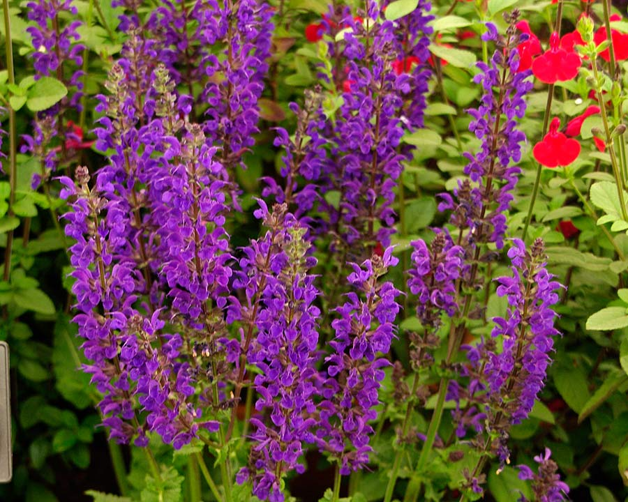 Salvia x sylvestris 'Viola Klose'  Flowers spikes with whorls of pale violet flowers