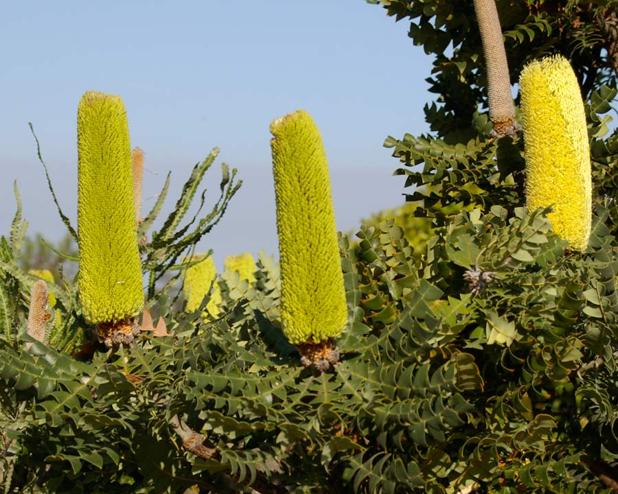 Banksia grandis - large cylindrical yellow flower spikes