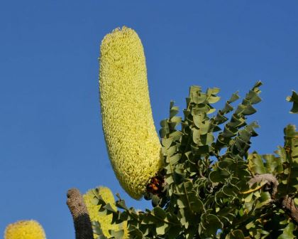 Large cylindrical flowers spike of Banksia grandis