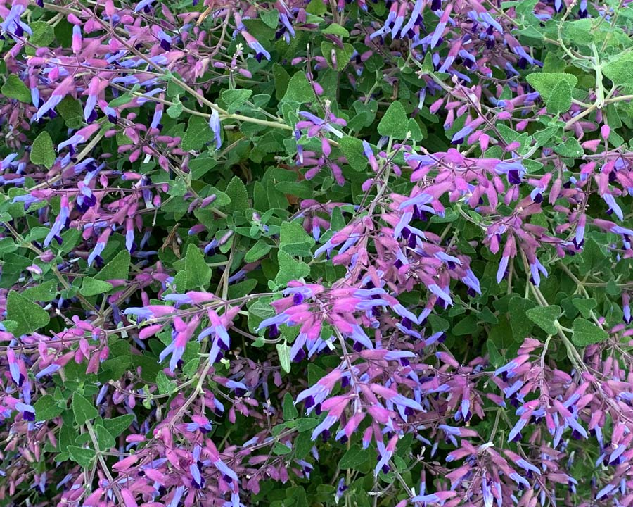 Salvia semiatrata - slightly arching branches and deltoid shaped leaves