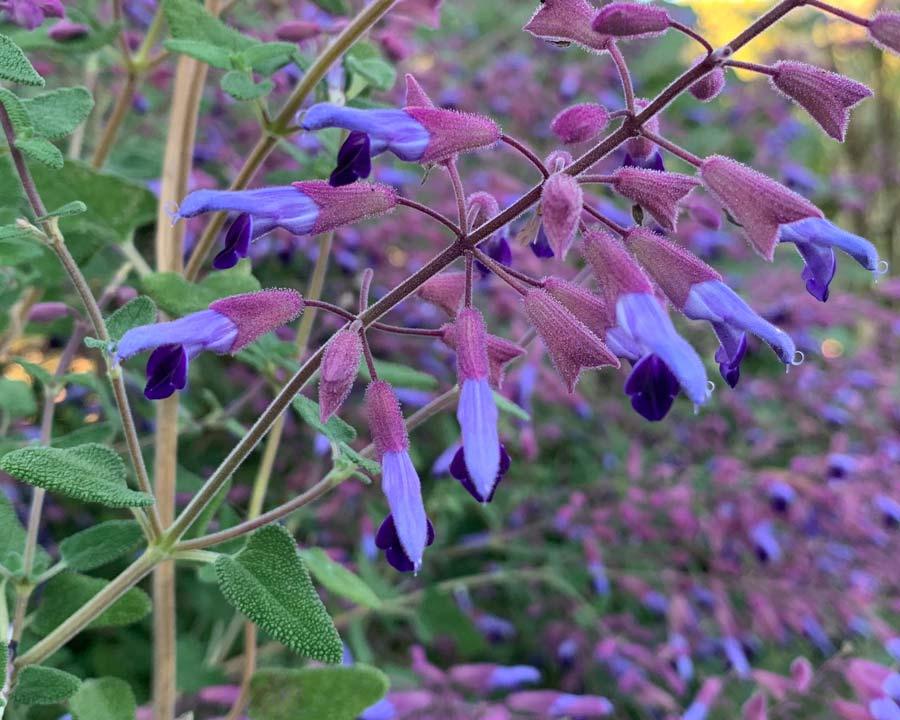 Salvia semiatrata - Lavender and deep violet bi-colour flowers