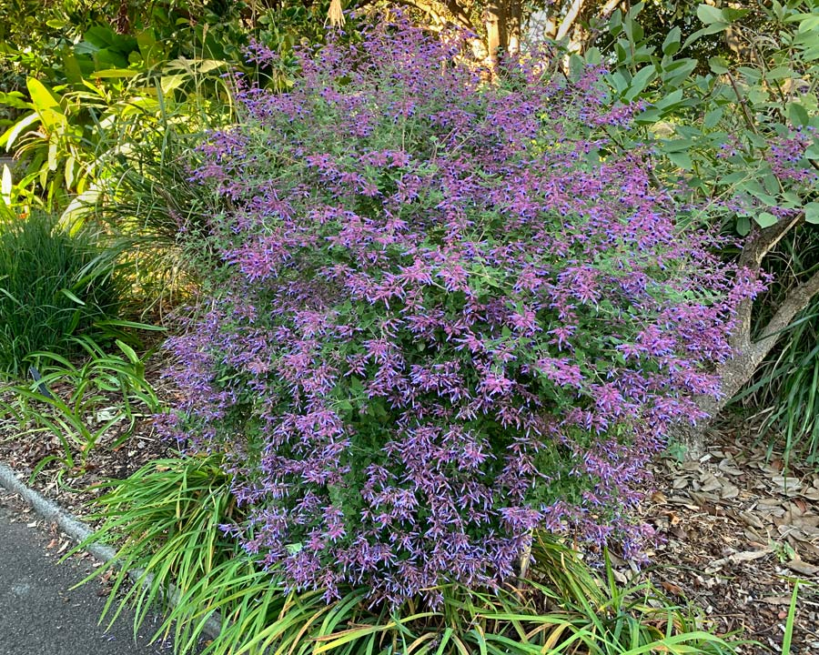 Salvia semiatrata - rounded shrub with pretty lavender and deep violet flowers
