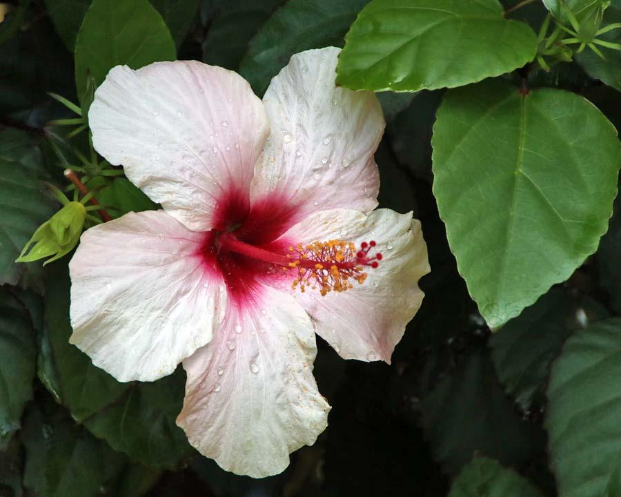 Hibiscus rosa sinensis 'Apple Blossom'