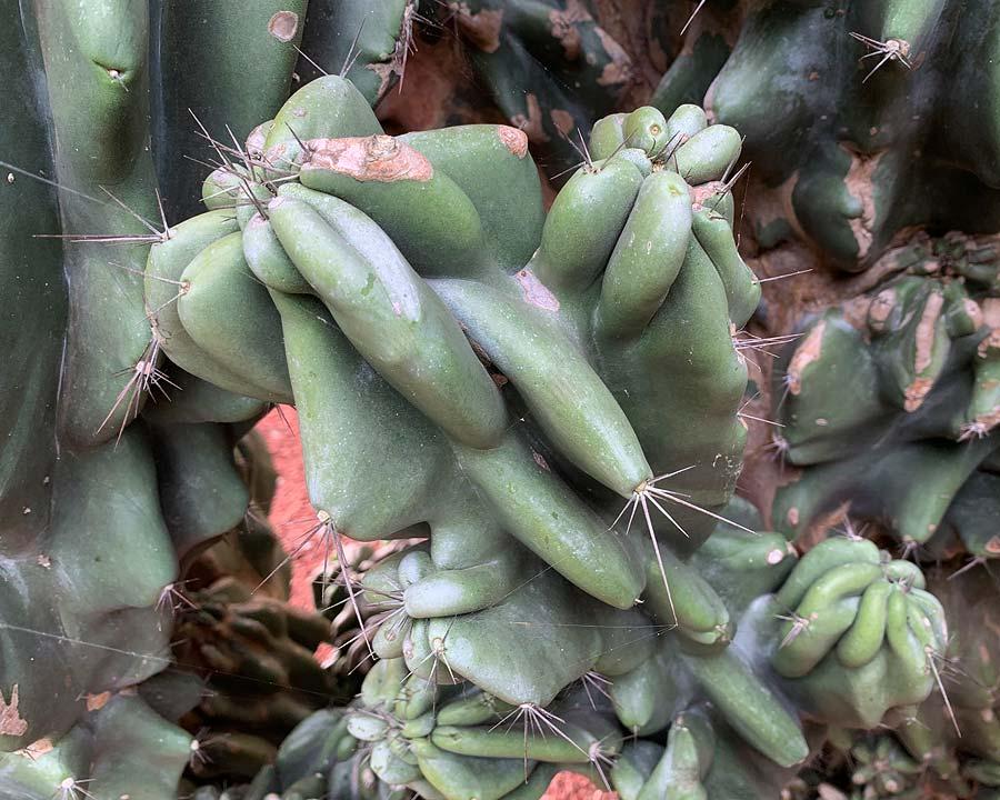 Cereus uruguayensis monstrous, Candelabra Cactus