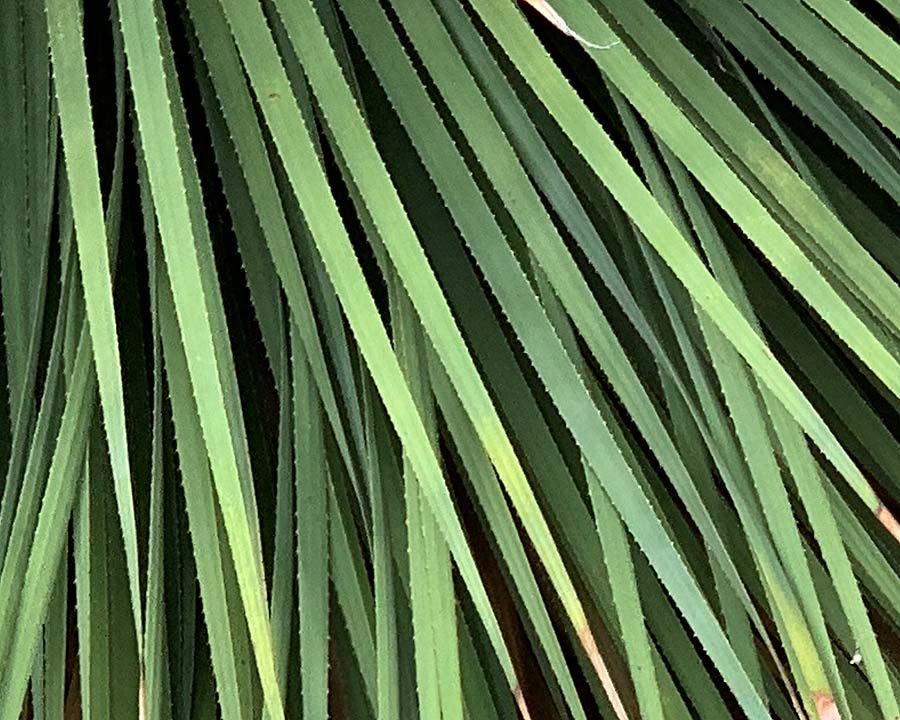 Dasyliron acrochitum