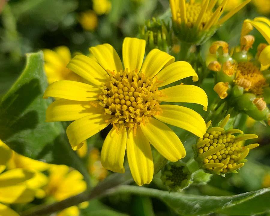 Chrysanthemoides monilifera, Boneseed or Bitou Bush
