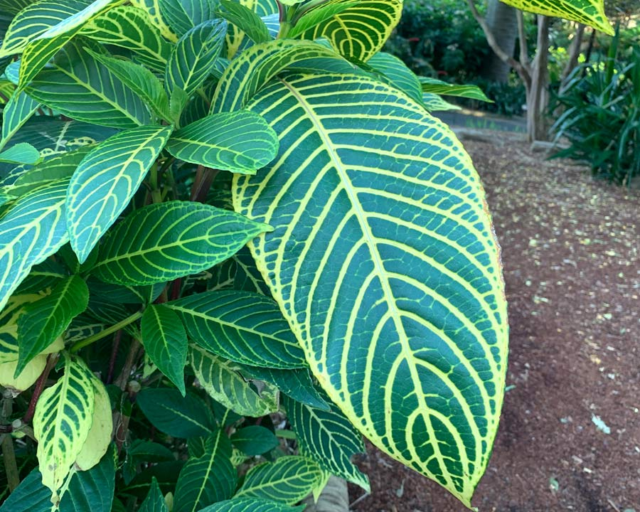 Sanchezia speciosa - deep green leaves with yellow veins