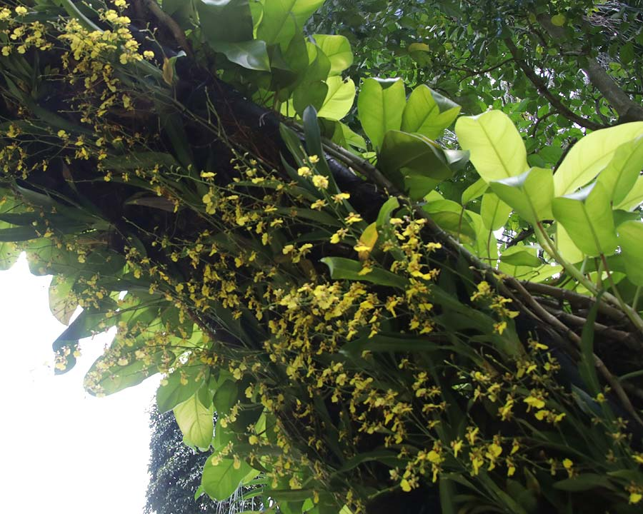Oncidesa Goldiana 'Golden Shower' on the underside of an arch at Singapore Botanic Gardens