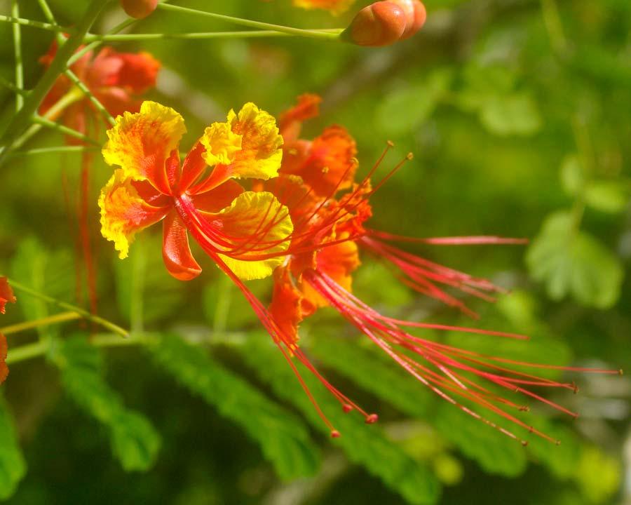 Caesalpinia pulcherrima - Pionciana or Peacock Flower